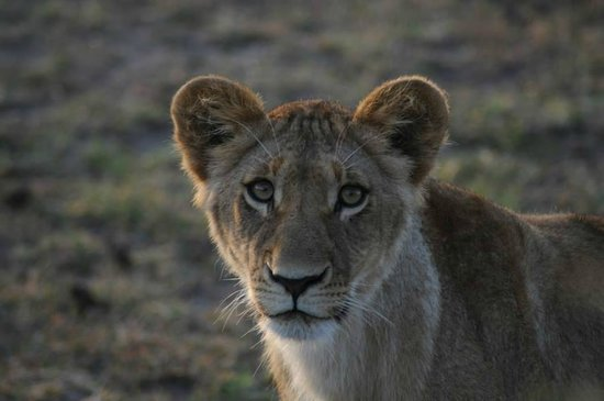 Offbeat Mara Camp: Early morning lions