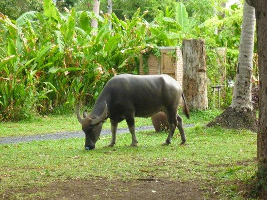 Belmond Napasai: Wasserbüffel