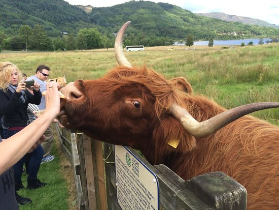 The Hairy Coo - Free Scottish Highlands Tour : From the Hairy Coo day