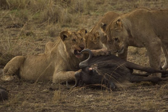 Mara Explorer Camp: Lion breakfast!