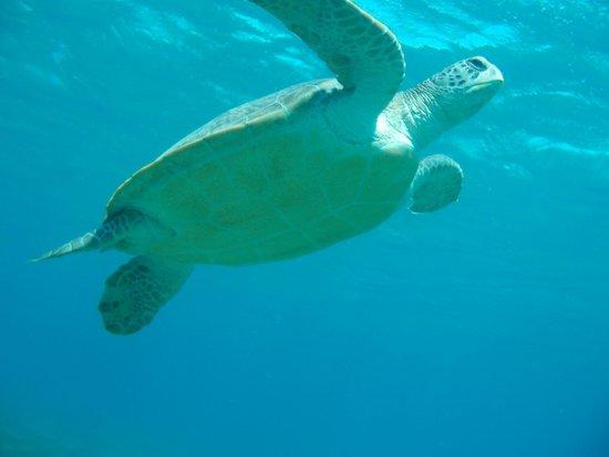 Concorde Moreen Beach Resort & Spa Marsa Alam : tartaruga spiaggia Abu Dhabbab