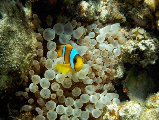 Concorde Moreen Beach Resort & Spa Marsa Alam : barriera corallina spiaggia Abu Dhabbab