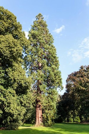 Hotel Chateau d'Aubry : Giant Redwood tree