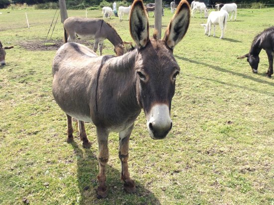 Farm donkeys - photo#15