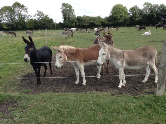Farm donkeys - photo#20
