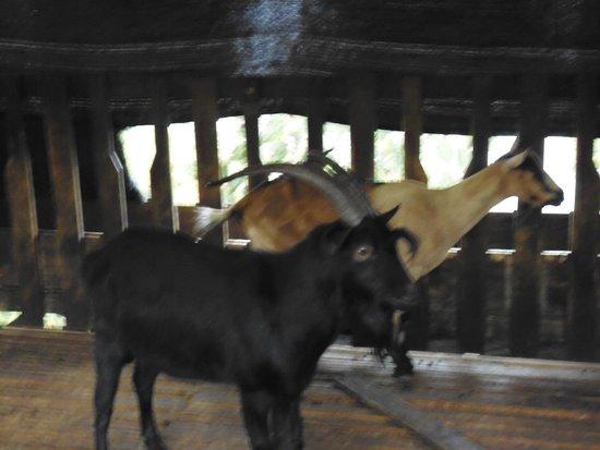 Parque Nacional de Chicamocha: cabras