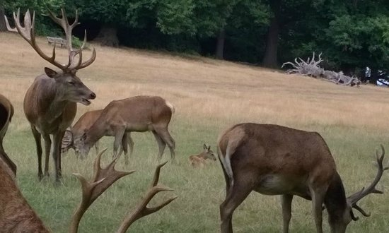 Richmond Park: There are about 200+ deer in the park. These, were right by the road