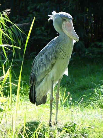 Weltvogelpark Walsrode: Shoebill