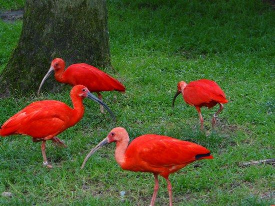 Weltvogelpark Walsrode: Colourful Ibis