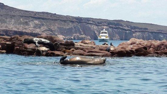 Isla Espiritu Santo: Lobos marinos...