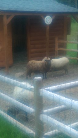 Log Cabin Bed & Breakfast : coolest sheep