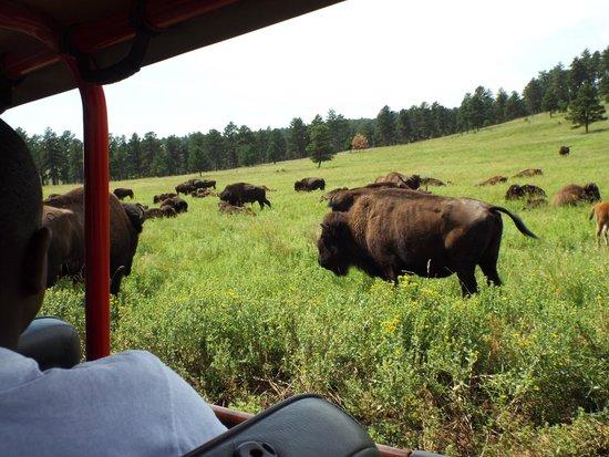 Custer State Park : Buffalo Safari Tour