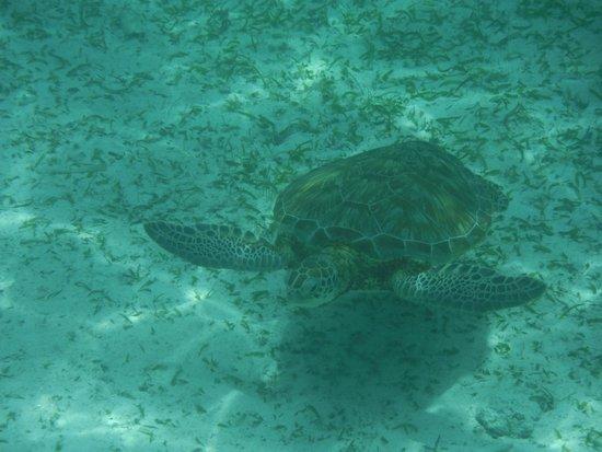 X'tan Ha Resort: Sea Turtle at Hol Chan - Thanks Hill!!