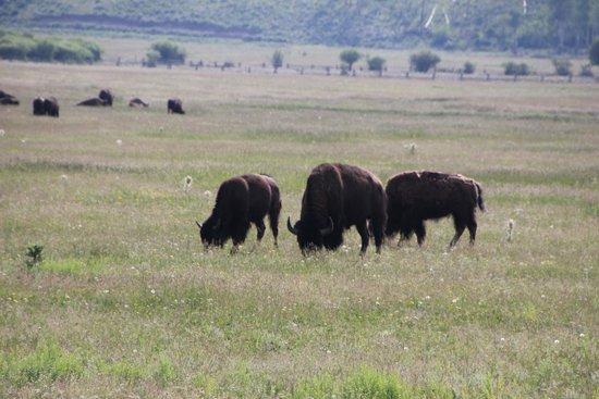 Jackson Hole Wildlife Safaris - Day Tours: ..