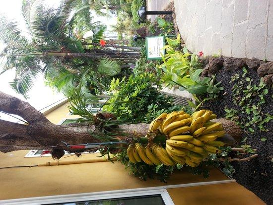 Hotel Tigaiga: Free bananas for all!!