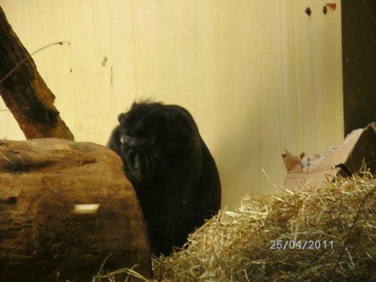 Antwerp Zoo (Dierentuin): in apen lokaal