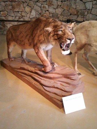 Musee de Prehistoire des gorges du Verdon : Le tigre à dents de sabre