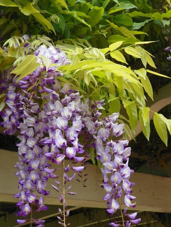 The Banning Museum: 100 Year-old Wisteria Vine