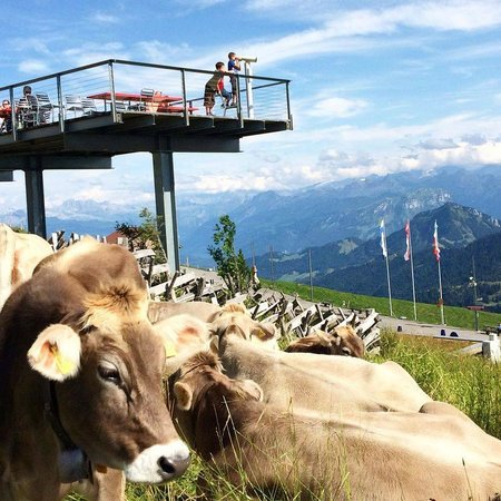 Rigi: clear day at kulm with the swiss cows