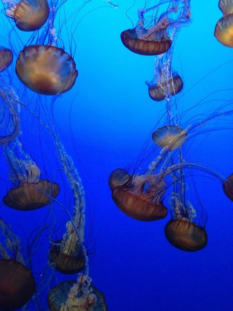 Monterey Bay Aquarium: Jelly