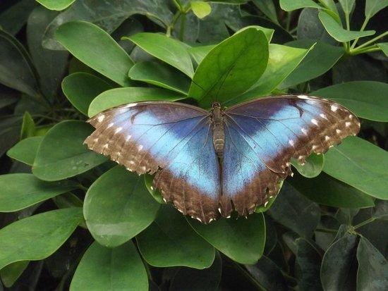 Chateau de Goulaine : farfalla azzura,stupenda ed enorme