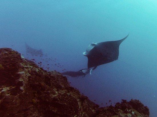 Heron Island Resort: Manta Ray (dive)