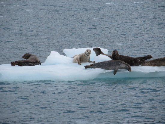 26 Glacier Cruise by Phillips Cruises and Tours: Harbor Seals