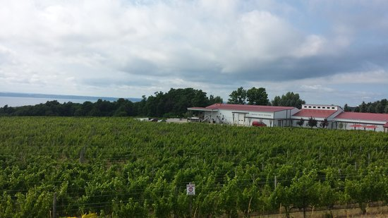 Chateau Grand Traverse Winery: Grape fields