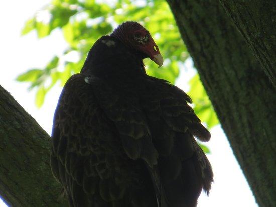 Eagle Point Park: Vulture