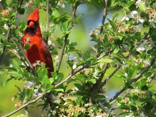 Eagle Point Park: Cardinal - beautiful bird