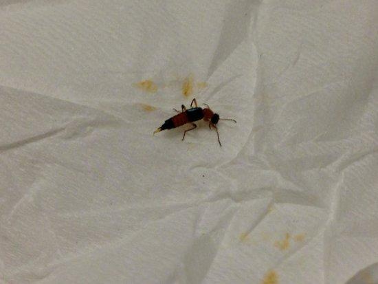 Rove beetle found in room of Zuri Express Lippo Cikarang