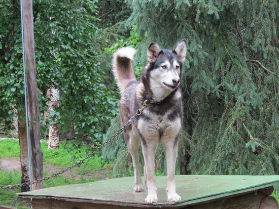 Alaskan Tails of the Trail with Mary Shields: One of Mary's working Dogs