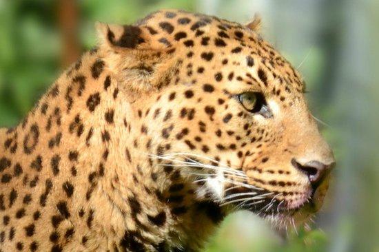 Le Parc des Felins : Panthère du Sri Lanka