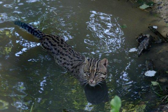 Le Parc des Félins : Chat pêcheur