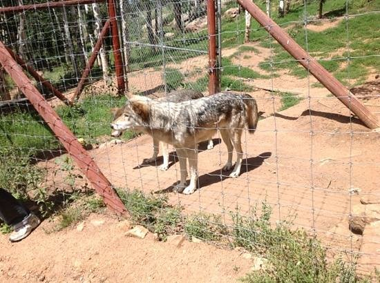Colorado Wolf and Wildlife Center : before the Alfa experience