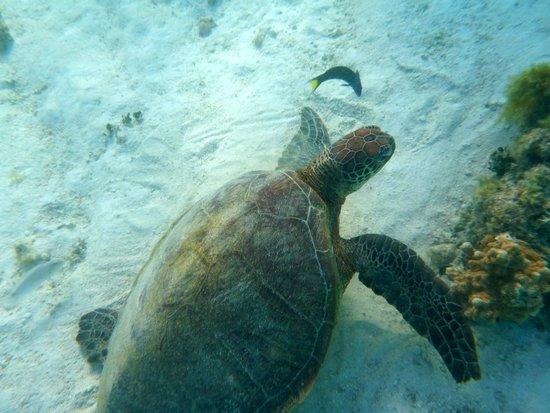 Heron Island Resort: Green Turtle