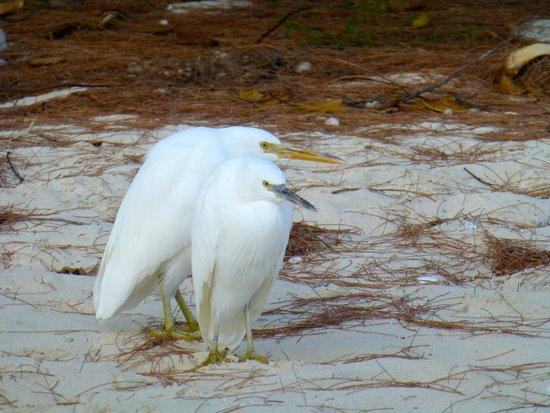 Heron Island Resort: Reef Herons