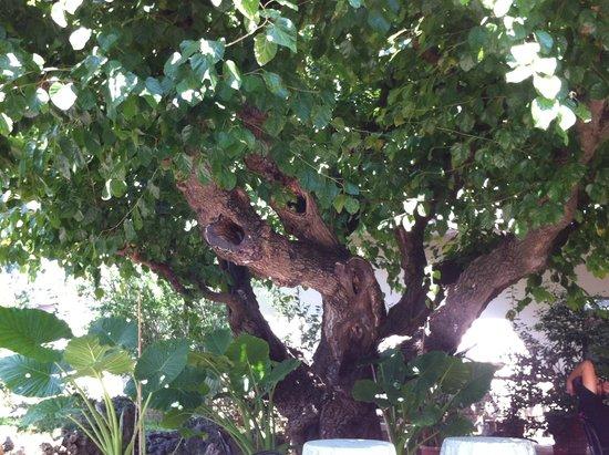da Rosanna : gelso plurisecolare nel giardino dell'hotel