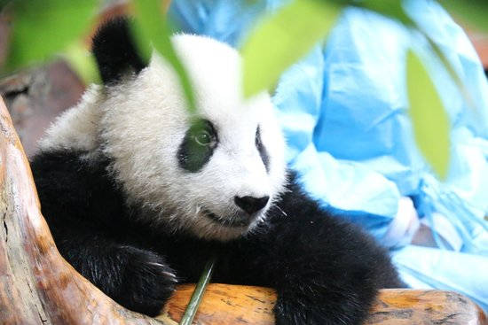 Giant Panda Breeding Research Base (Xiongmao Jidi): Hexing