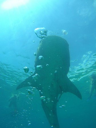 Hale Manna: whale sharks at Oslob (2 hours drive - tour available)