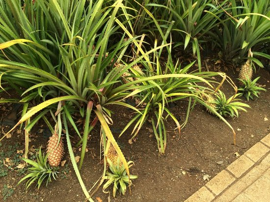 Dole Plantation: パイナップルって、こういう感じで育つんですね
