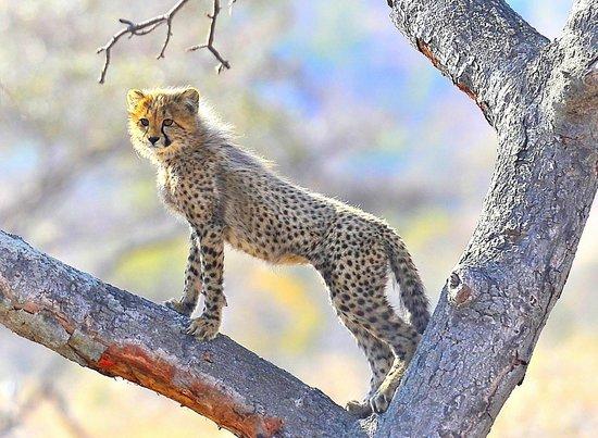 Ekuthuleni Lodge: cheetah Cub