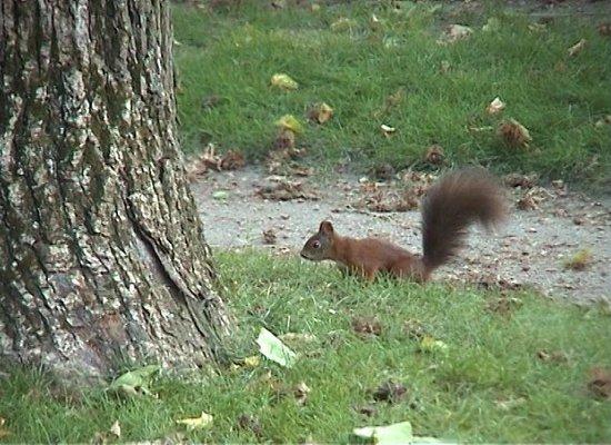 Central Cemetery (Zentralfriedhof): Red Squirrel