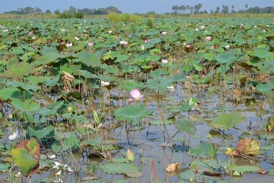 Lotus Farm by Samatoa: Водоем