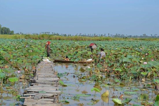 Lotus Farm by Samatoa: Мостки к лотосам