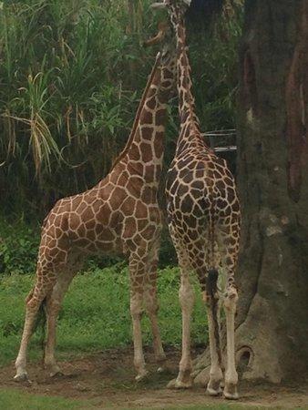 Bali Safari & Marine Park : Giraffe