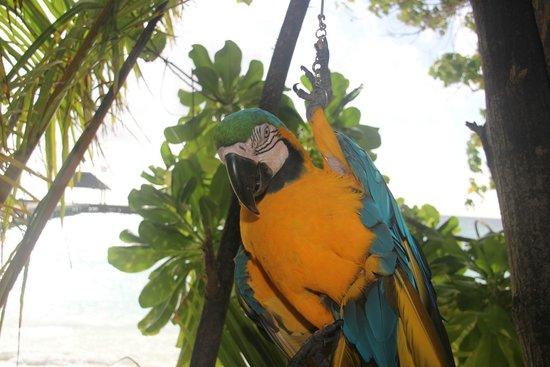 VOI Maayafushi Resort: I pappagallo dell'isola