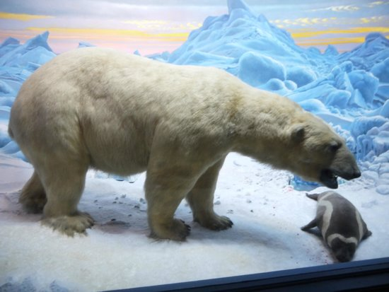American Museum of Natural History : Белый медведь