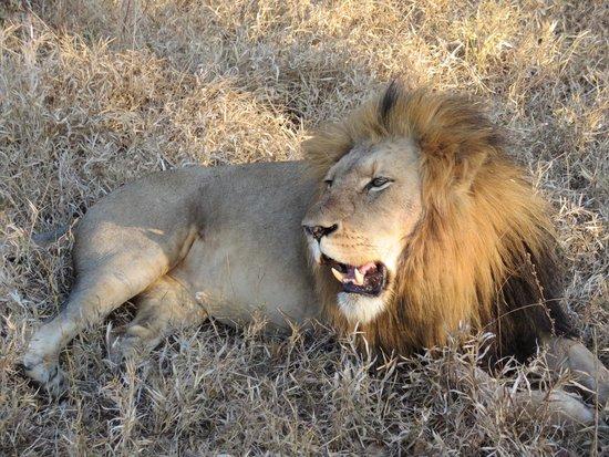 Kapama Karula : Lion