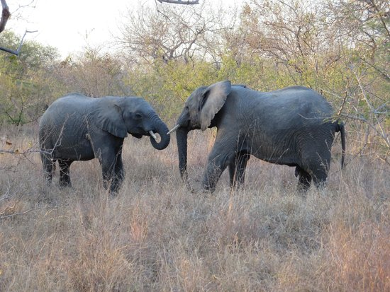 Kapama Karula : Elephants